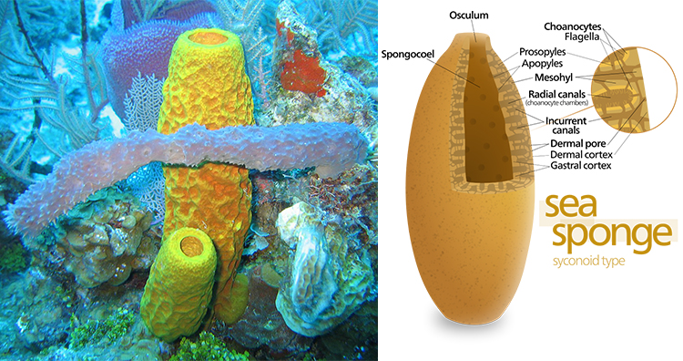 Sea Sponges, Sea Sponges diagram