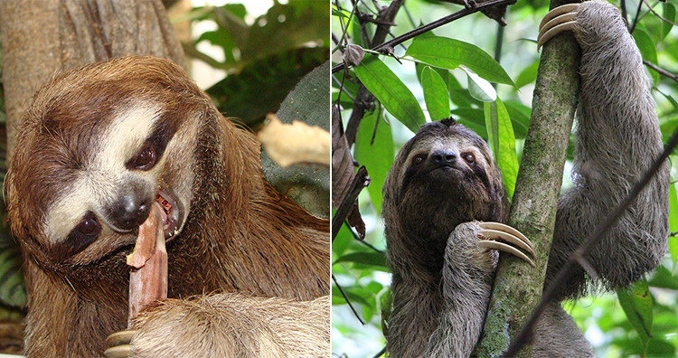 Sloth eating, Sloth