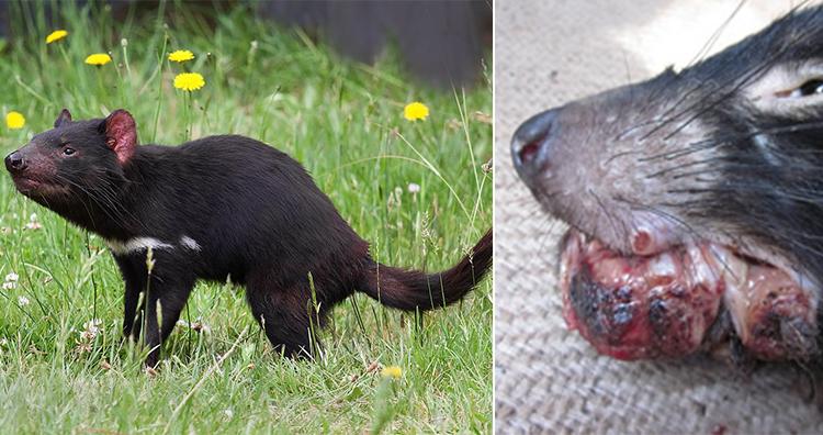 Tasmanian Devil, Tasmanian devil facial tumour disease