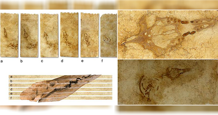 The six limestone plates containing the Aegyptocetus tarfa skeleton before preparation. Plates are lettered a through f from top to bottom. Bottom schematic shows the skull, as preserved, relative to bedding and relative to plate surfaces.