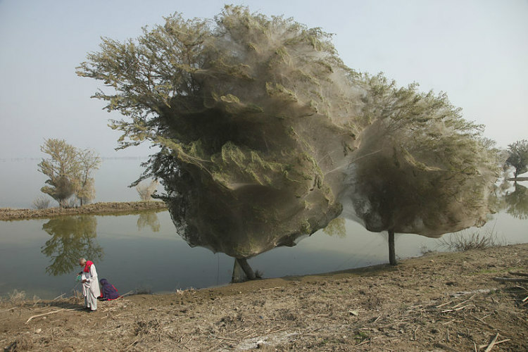 Trees Cocooned in Spider Webs in Sindh, Pakistan