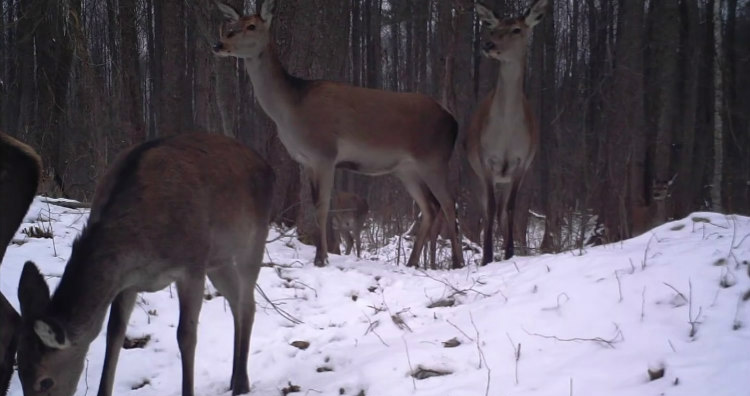 Wildlife of Chernobyl