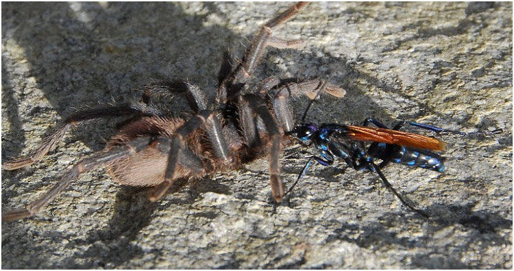 A tarantula hawk with her prey