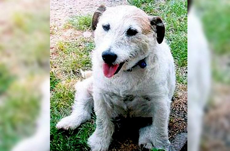 George, the Jack Russel Terrier