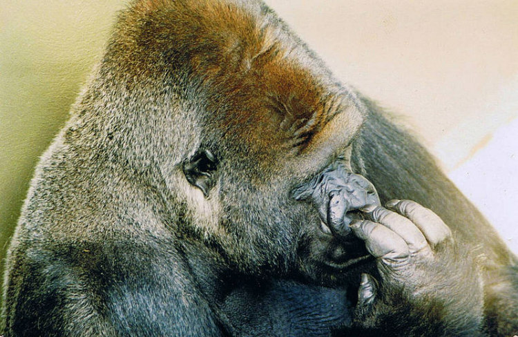 Jambo, the Gorilla