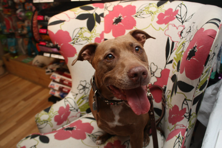 Lilly, the Pit Bull