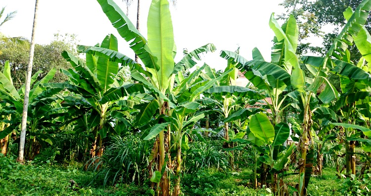 Banana plants are not trees