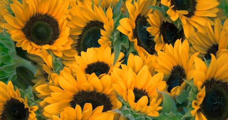 Sunflowers do not follow the sun once they are fully grown