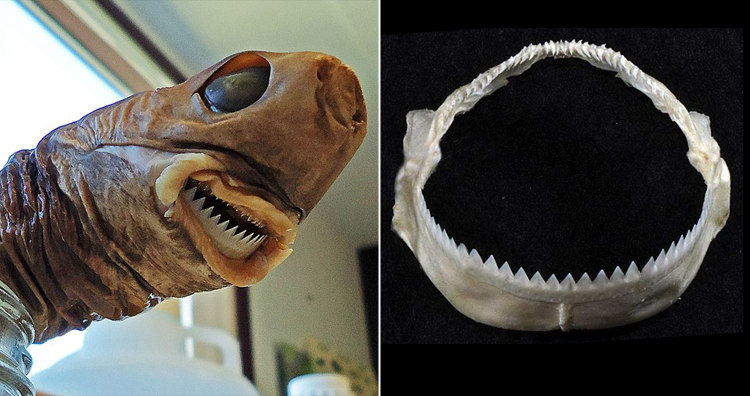 Cookiecutter Shark's Teeth