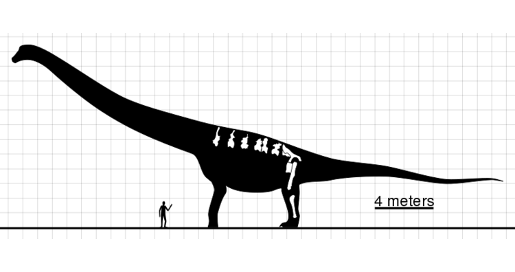 A comparison between Argentinosaurus and human height