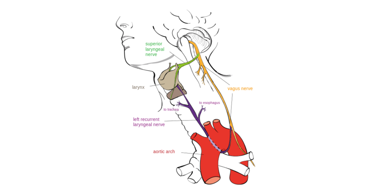 Drawing of the left recurrent laryngeal nerve
