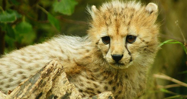 Cheetah's cub