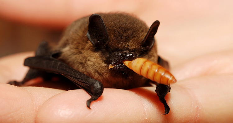 Bat eating insect