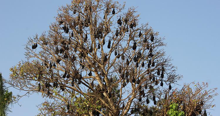 Bats Hanging