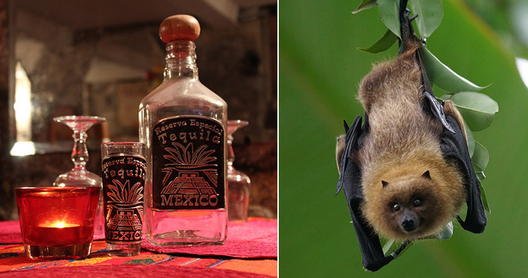 Tequila and bats