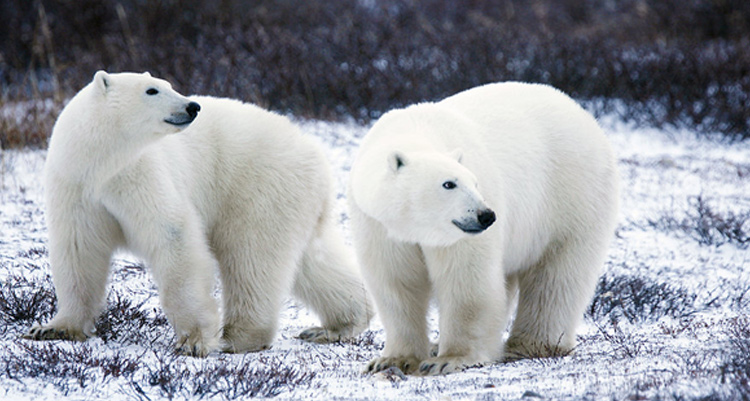 Antarctica is without bear