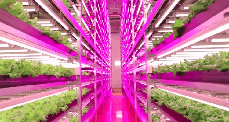 lettuce farm- led