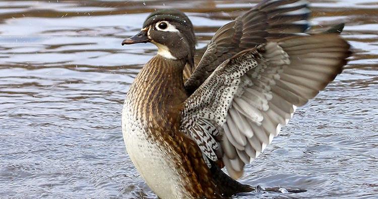 Waterproof Feathers of Duck