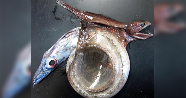 Chiasmodon niger (Black swallower)