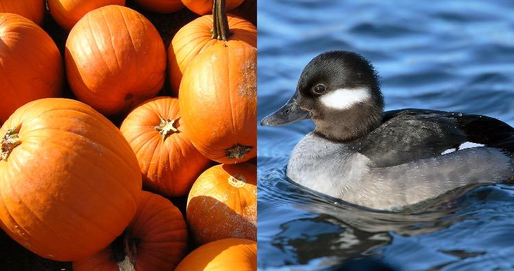 Pumpkin duck hunting