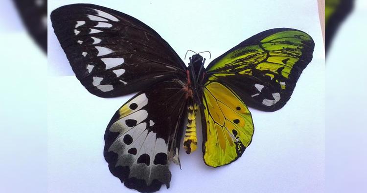 Bilateral gynandromorph
