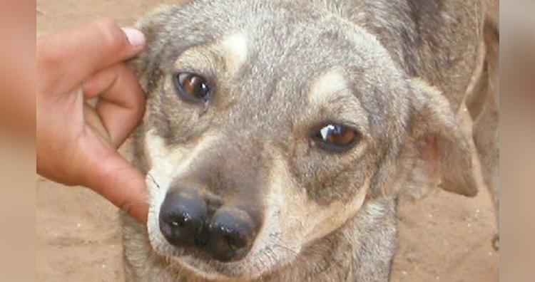 Andean tiger hound