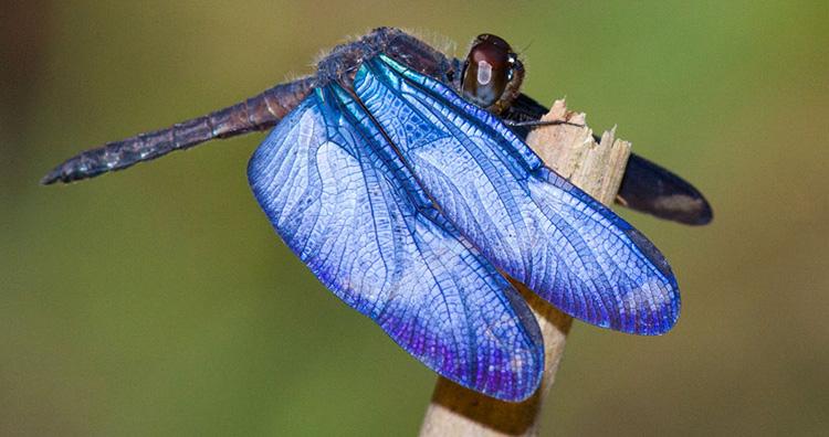 Morpho Dragonfly