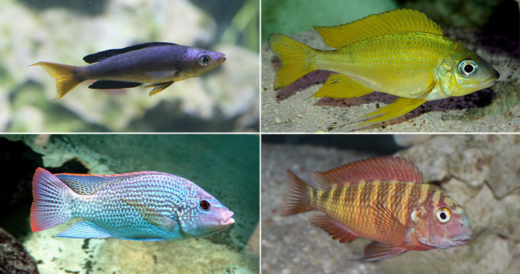 Colorful Cichlid Fish of Lake Tanganyika