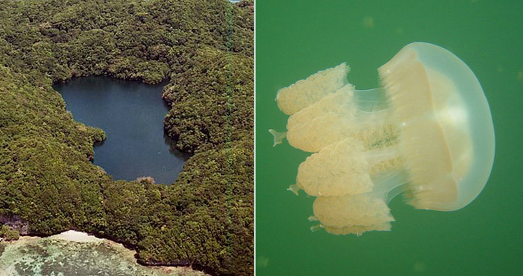 Jellyfish Lake and Golden Jellyfish