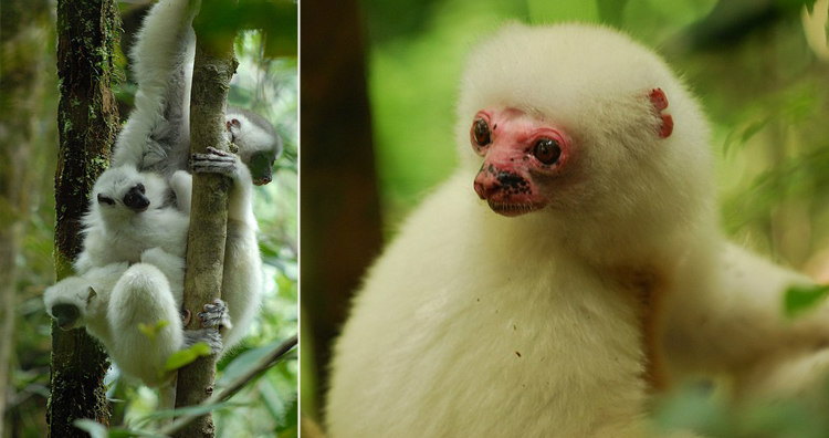 Silky Sifakas of Madagascar