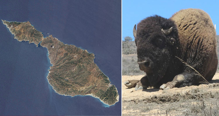 Bison- catalina island