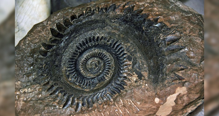 Helicoprion fossil