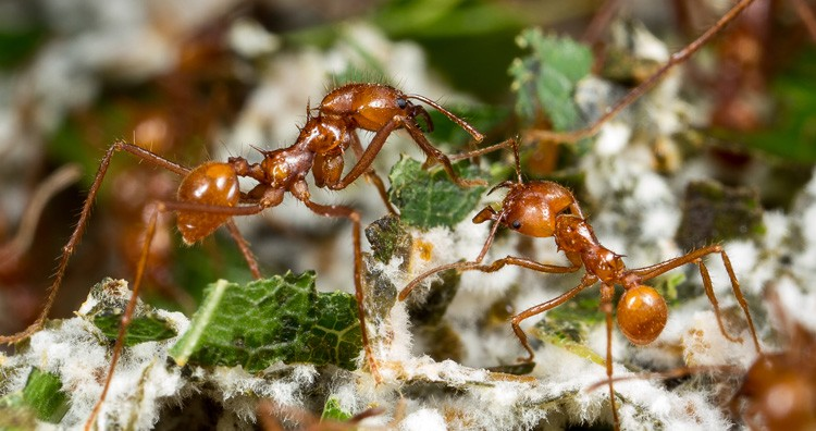 Leaf cutter Ants and Fungus