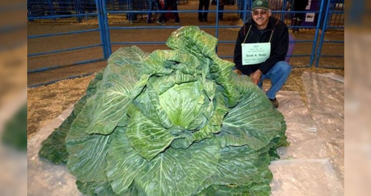 Cabbage record