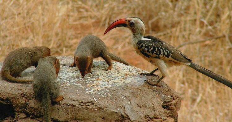 Hornbill and Dwarf