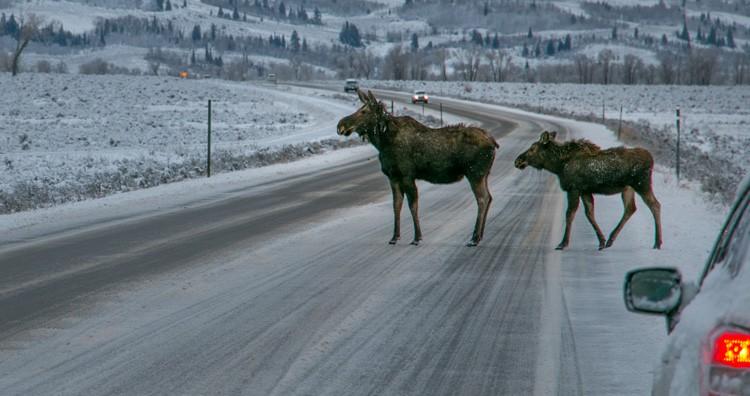 Moose on road