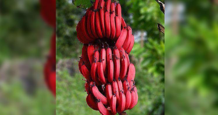Dacca banana
