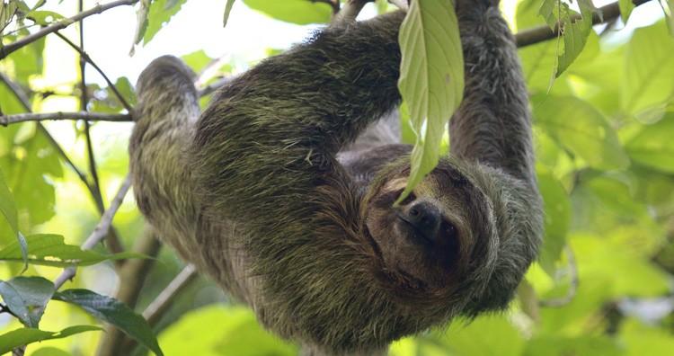 Sloth and Algae