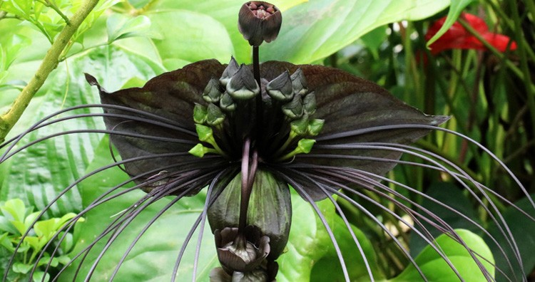 Tacca chantrieri Bat Flower