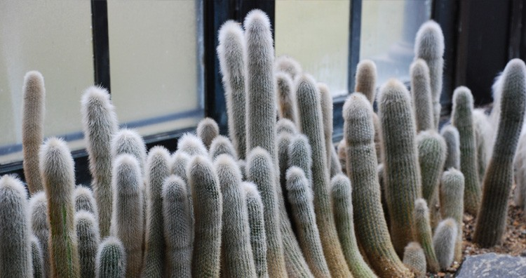Silver torch cactus