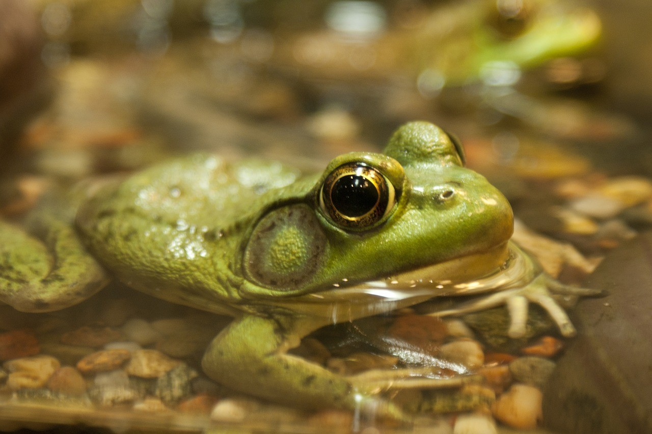 Frogs eyeballs