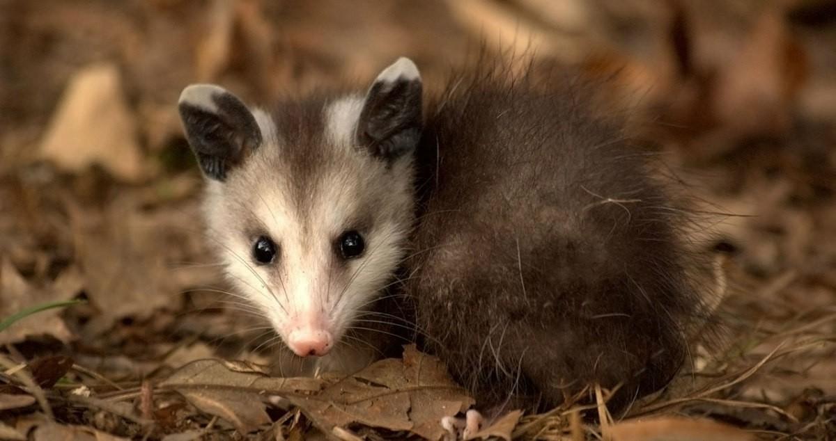 Young Virginia Opossum