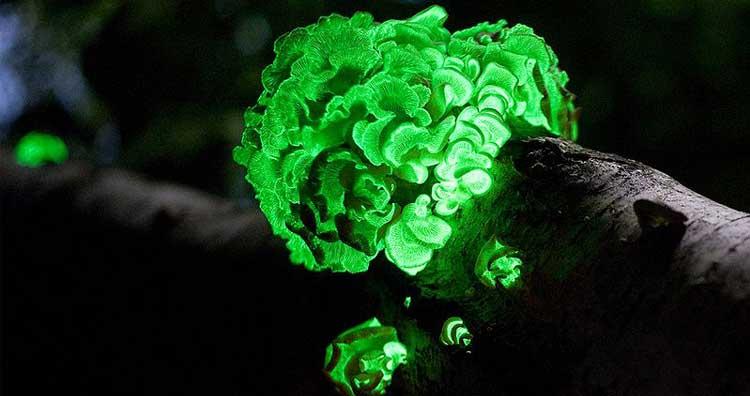 Bioluminescent Fungus