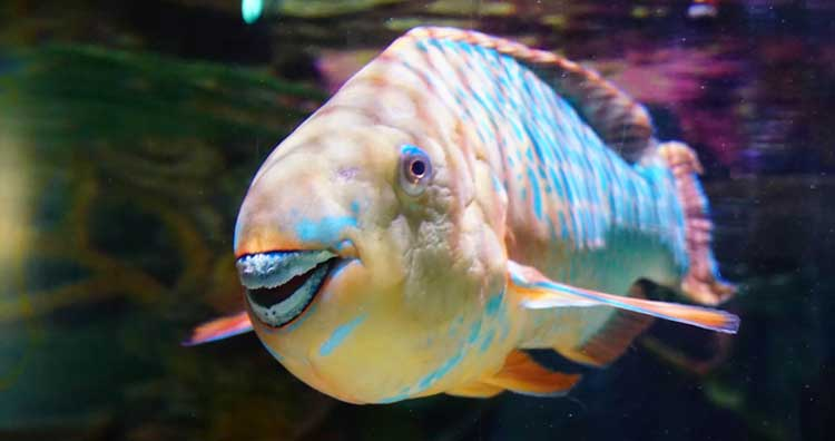Parrotfish one of animals you did not know