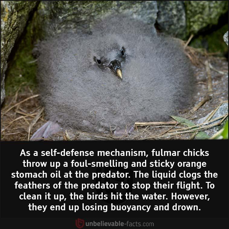 Fulmar chicks vomit oil