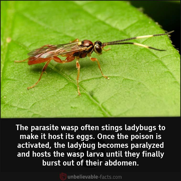 The parasite wasp poisons ladybugs