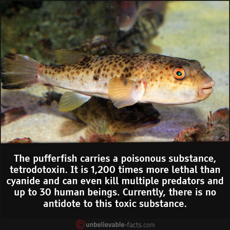 Pufferfish store a tetrodotoxin