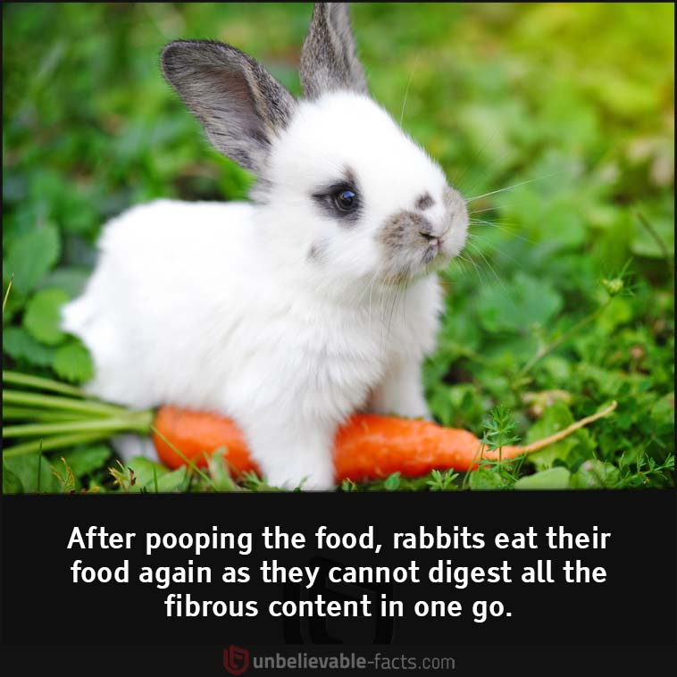 Rabbits eat their own poop.