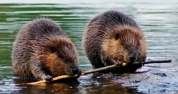 England's beaver reintroduction trial