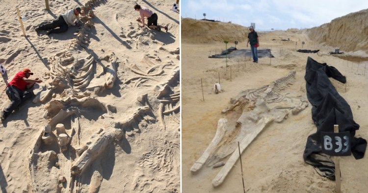 Whale Fossils
